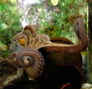 This is the octopus at the Hebrew University who proved not only smart but agile in receiving rewards. (Credit: Hebrew University photo)