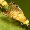Euaresta Aequalis Fruit fly. from wikipedia
