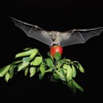 Neural Activity in Bats Measured In Flight